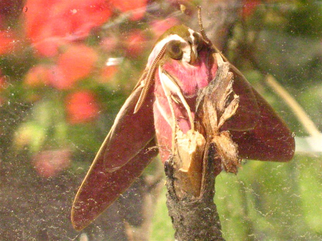 chenille et sa chrysalide: quel est le papillon? IMG_2249