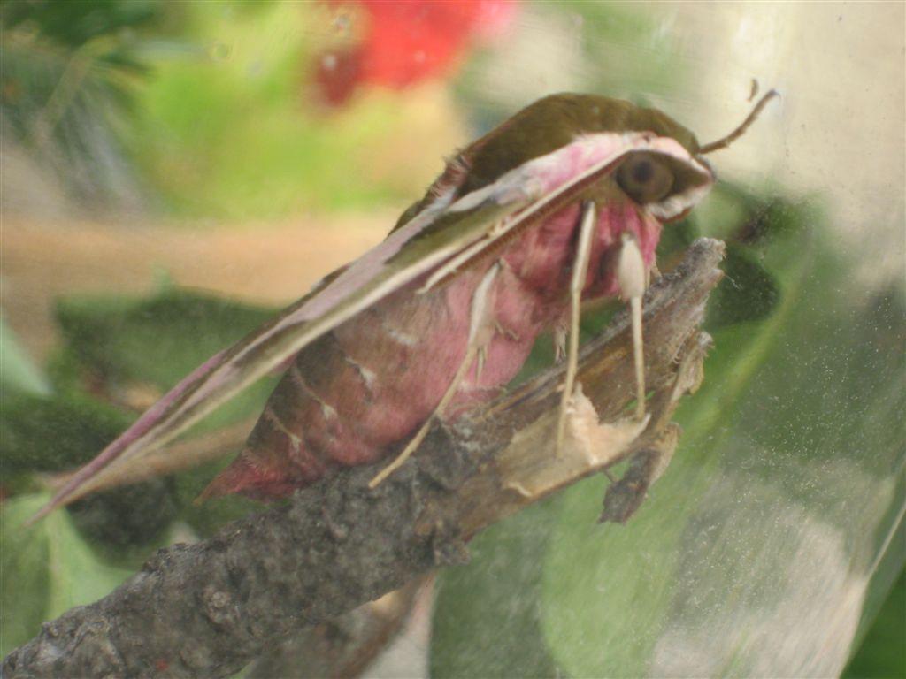 chenille et sa chrysalide: quel est le papillon? IMG_2262