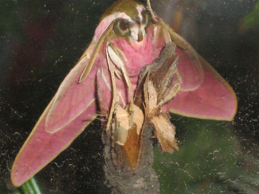 chenille et sa chrysalide: quel est le papillon? IMG_2265