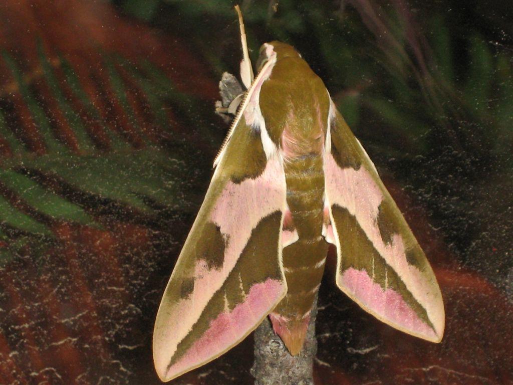 chenille et sa chrysalide: quel est le papillon? IMG_2277