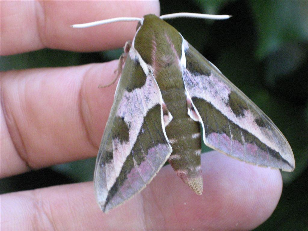 chenille et sa chrysalide: quel est le papillon? IMG_2285